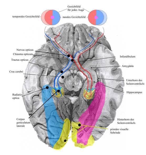 Visuelle Verarbeitung im Gehirn